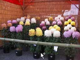 Можно ли сажать лук под зиму на головку в подмосковье 5
